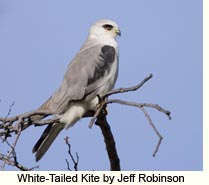 White-Tailed Kite by Jeff Robinson