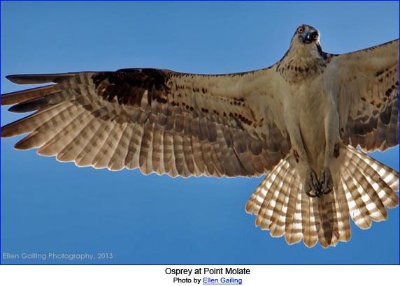 Osprey at Point Molate by Ellen Gailing