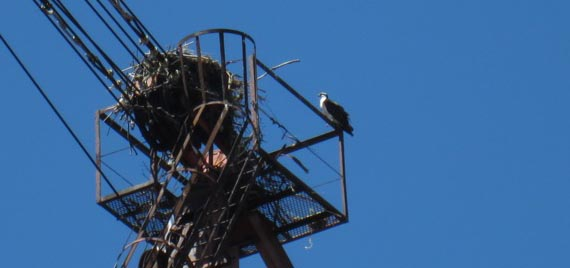 Osprey with its huge nest on the Whirley Crane